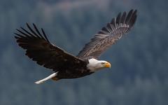 Bald Eagle (nickinthegarden) Tags: americanbaldeagle harrisonriver harrisonmillsbccanada baldeagle eagle