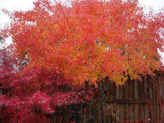 Backyard Autumn Leaves 2017 (Sherrye's Art) Tags: olympus em5markii fall fallcolors sherryesteffens hapaphoto tree leaves autumn