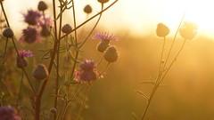 Summer sunset (pszcz9) Tags: przyroda nature natura kwiat flower zbliżenie closeup zachódsłońca sunset bokeh beautifulearth sony a77