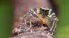 Maevia inclemens dimorphic jumping spider (Tibor Nagy) Tags: maevia inclemens dimorphic spider jumper jumpingspider salticid macro salticidae arachnid arthropod closeup flash diffused diffuser softbox