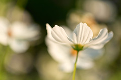 Cosmos (mclcbooks) Tags: flower flowers floral macro closeup cosmos denverbotanicgardens colorado summer bokeh