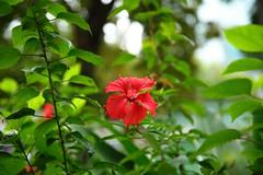 Flower (superzookeeper) Tags: 5dmk4 5dmkiv hk hongkong canoneos5dmarkiv ef2470mmf28liiusm park eos digital kowloonpark tst tsimshatsui bokeh flower green