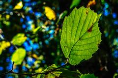 Hungry Nature   ///   Naturaleza Hambrienta (Walimai.photo) Tags: color colour leaf hoja green verde mordida bitten lumix lx5 panasonic linaresderiofrío honfría salamanca spain españa nature naturaleza autum fall otoño