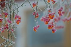 Winter unfolding (RdeUppsala) Tags: benved europeanspindle buske bush arbusto frost escarcha winter vinter plant planta växt blommor flowers flores invierno ice is uppland uppsala ricardofeinstein sverige suecia sweden garden jardín trädgård