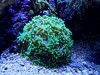 Euphyllia sp - 18/09/17 (Philippe_Boissel) Tags: euphylliasp euphylliidae coraildur corail scleractinia cnidaria 0981
