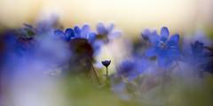 Grow Through Life (matt.kueh) Tags: flower plant blume frühling spring leberblümchen anemonehepatica bokeh bokehlicious vintagelens m42 depthoffield helios40285mmf15