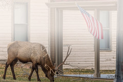 foggy elk and flag mammoth (chasingthewildoutdoors) Tags: 2017 chasingthewildoutdoors colewaltner wildlife animals deer elk wapiti yellowstonewildlife antelope bison buffalo montana wyoming canon sigma 7dmkii