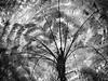 fern 2 mono [Explore: Nov 29, 2017 #458] (Mariasme) Tags: monochrome blackandwhite plant ferntree light silhouette