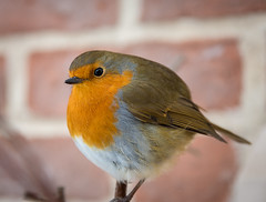 A 'Round Robin' (cdwpix) Tags: robin round holderness east yorkshire winter christmas