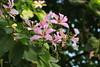 দেবকাঞ্চন (Bauhinia purpurea) (Saniya Ruby) Tags: flower dhaka দেবকাঞ্চনফুল bauhiniapurpurea dhakaversity lateautumn pink petal leaf heartleaf tree garden pleasure beauty green