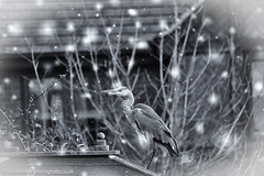 Snow heron (jacbfotografie.co.uk) Tags: birds bird nature rspb rspblovenature heron beak fishing green blackandwhite photo jacquelinebphotografiecouk feathers nest wildlife snow christmas november cold bedford bedfordshire