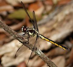 Bar-winged Skimmer female poss. Libellula axilena