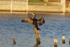 DSC01849 (simonbalk523) Tags: cormorant widewater lagoon lancing sussex widelife photography sony tamron nature