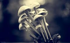Champignons - 4191 (YᗩSᗰIᘉᗴ HᗴᘉS +10 000 000 thx❀) Tags: clairobscur champignon fungus mushroom blackandwhite monochrome bw bn macro hensyasmine yasminehens