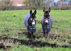 Donkeys in their winter coats (Martellotower) Tags: donkey winter coat bray hay field
