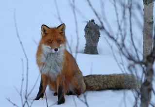Red fox, Varanger, Norway April 2011