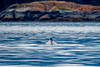 Humpback Whale (Warp Factor) Tags: alertbay canont4i humpback summer2017 whales sealife vacation wilderness wildlife tamron150600mm alertbaycanont4ihumpbackorcassummer2017whalessealifevacationwildernesswildlife sundaylights