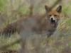 Fox (ukstormchaser (A.k.a The Bug Whisperer)) Tags: fox foxes uk mammals animals wildlife milton keynes field fields buckinghamshire vole shrew mouse december daytime grass