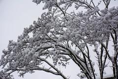 Snow Trees againest the Clouds (JavaJoba) Tags: 2017 atlanta georgia jackkennard nikon snow nikond5200 travel travellocal ga usa