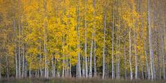 Sparkle (wboland) Tags: autumn usa 2017 d800e sanjuanmountains rockymountains wboland trees yellows forest aspens nikon