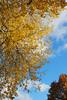 Those bright colours... (DameBoudicca) Tags: sweden sverige schweden suecia suède svezia スウェーデン värnamo autumn fall höst herbst otoño automne autunno 秋 あき tree träd baum albero árbol arbre 木 sky himmel cielo ciel 空 blue blå blau azul bleue orablu blu 青 yellow gul gelb amarillo jaune giallo 黄色 foliage lövverk blätter laub fogliame follaje 木の葉