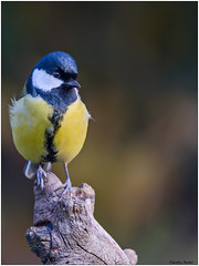 Cinciallegra (fausto.deseri) Tags: greattit parusmajor cinciallegra wildlife nature birds wildanimals nikond7100 nikkor300mmf28afsii nikontc17eii faustodeseri