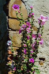 Hibiscus (Raoul Pop) Tags: hibiscus corner structure flowers stones garden cincșor județulbrașov romania ro