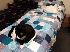 Moe And Peaches. (dccradio) Tags: lumberton nc northcarolina robesoncounty inside indoors bed quilt comforter blanket throwblanket cat kitty cats moe peaches square squares checkered handmade meow feline domesticcat pet animal rest relax samsung galaxy smj727v j7v cellphone cellphonepicture