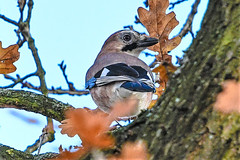 Jay (I was blind now I see!) Tags: jay tree branch perched focus myfirst bird birding birds birdphotography birdwatching