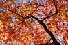 autumn dance (RubyT (off to see kids & grandkids)) Tags: kpda2040japanesemaplefallautumn pentaxkp da2040ltd fall autumn tree leaves sky orange blue pentax pentaxart acerpalmatum japanesemaple