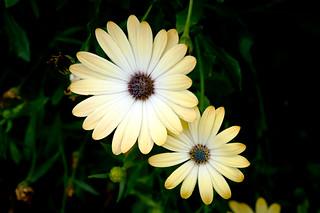 Osteospermum 'Sunny Amanda'