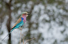 Lilac Breasted Roller (dunderdan77) Tags: south africa nature wildlife safari outdoor outdoors beak wing wings feather animal nikon tamron d500 150600 kruger national park