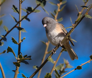 Dark-eyed Junco Chilao Angeles Crest Highway San Gabriel Mountains  California 273  Happy Holidays