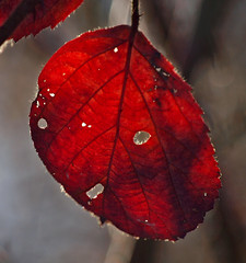 2017_11_0396 (petermit2) Tags: autumn backlit bramble leaf oldmoor dearnevalley dearne rotherham barnsley southyorkshire rspb