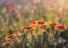 Here Comes the Sun (Charles Opper [Catching Up]) Tags: charleston follybeach gaillardia gaillardiapulchella southcarolina summer blanketflowers bokeh color flowers light nature wildflowers canon