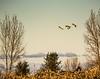 Goodbye . . . (Dr. Farnsworth) Tags: birds sandhillcranes snowyowls cold snow migrate south field corn traversecity mi michigan fall november2017