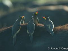 Yellow-billed Oxpeckers (Simon Carter (Nairobi)) Tags: buffalo capebuffalo kenya mammals masaimara wildlife birds