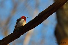 Pic à Tête Rouge / Red-Headed Woodpecker (Richard Vézina) Tags: wildlife picoides woodpecker bird nikond500 nikontc14eiii nikonafsnikkor200400mmf4gedvr