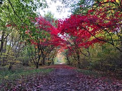 Japanese Maples (Marc Sayce) Tags: japanese maples acer palmatum trees colours fall leaves lodge autumn november 2017 alice holt forest hampshire farnham surrey south downs national park