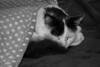 Louis ~ Tucked Up in Bed (JackPeasePhotography) Tags: cat bed black white winter warmth animal pets