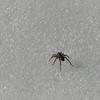 Spider walking on snow (annkelliott) Tags: alberta canada sandseofcalgary pinecouleereservoir nature snow spider macro unexpected outdoor likewinter fall autumn 12november2017 fz200 fz2004 panasonic lumix annkelliott anneelliott ©anneelliott2017 ©allrightsreserved