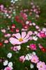 秋桜 (tsubasa8336) Tags: 秋桜 コスモス フィルム 銀塩 写真 大波斯菊 底片 寫真 銀鹽 台湾 台北 film filmphotography filmcamera fujifilm 富士フィルム