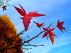P1270724 (steve p2008) Tags: burtonupontrent autumn november2017 woodland trees redleaves red