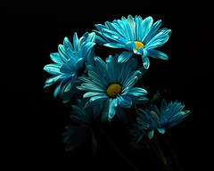 Blue Expression 1112 (Tjerger) Tags: nature beautiful beauty black blackbackground bloom blooming blooms blue bunch closeup daisies daisy fall flora floral flower flowers group macro plant portrait white wisconsin yellow expression natural