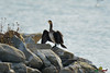 A-LUR_1937 (OrNeSsInA) Tags: trasimeno uccelli bird natura italia umbria castiglionedellago ornessina lucarosi nikon tamron byrd lago chiusi siena perugia aironi cormorani
