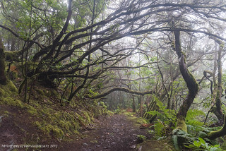 Sendero el Bosque Encantado Anaga Ancient laurel forest north of Santa Cruz de Tenerife