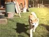 Great Smile (anquin.photography) Tags: akitainu akita dog bestfriend bester hund garten sunny sun wiese gras smile lächeln glücklich freund freundlich süs sweet little baby welpe portrait outside