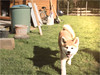 Great Smile (TabuuPhotography) Tags: akitainu akita dog bestfriend bester hund garten sunny sun wiese gras smile lächeln glücklich freund freundlich süs sweet little baby welpe portrait outside