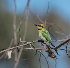Rainbow Bee-eater (Matt OZW) Tags: meropsornatus birds victoria boxironbark rainbowbeeeater places australia