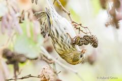 Erlenzeisig 3 (rgr_944) Tags: vögel vogel bird oiseau tiere animaux animals natur outdoor canoneos80deos7dmk2eos5dmk4 rgr944 tier animal wildlife